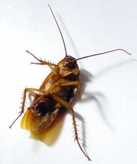 La Cucaracha ha triunfado desde hace más de 300 Millones de años. ¿Tendremos que heredarle también lo que quede del Planeta?